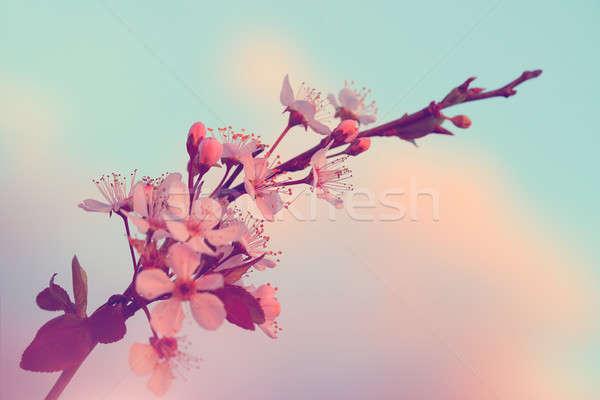 Stock photo: Sakura blooming