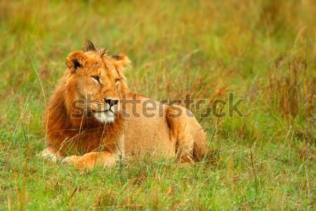 Portré fiatal vad afrikai oroszlán Afrika Stock fotó © Anna_Om