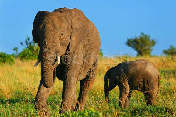Elephants in the wild Stock photo © Anna_Om