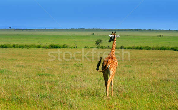 Wild African Giraffe Stock photo © Anna_Om
