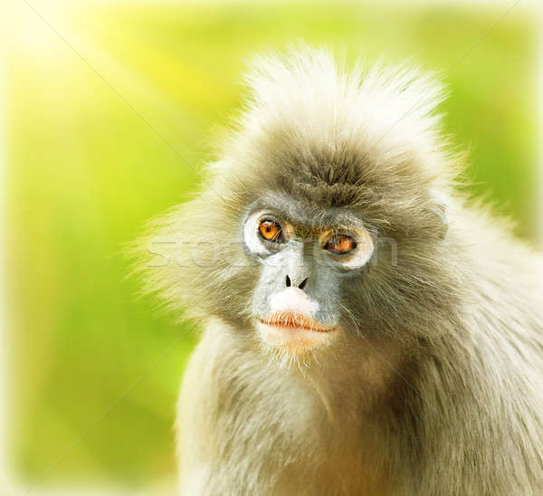 Feuille singe portrait cute visage Photo stock © Anna_Om
