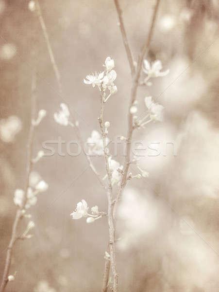 Cherry tree blossom  Stock photo © Anna_Om