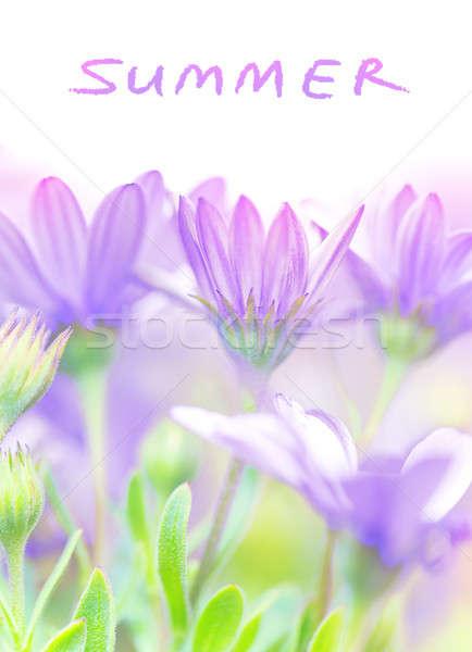 Nyár friss virágok ibolya százszorszép virágzó Stock fotó © Anna_Om