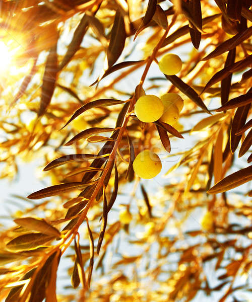 Olive tree branch at warm autumn sunset Stock photo © Anna_Om