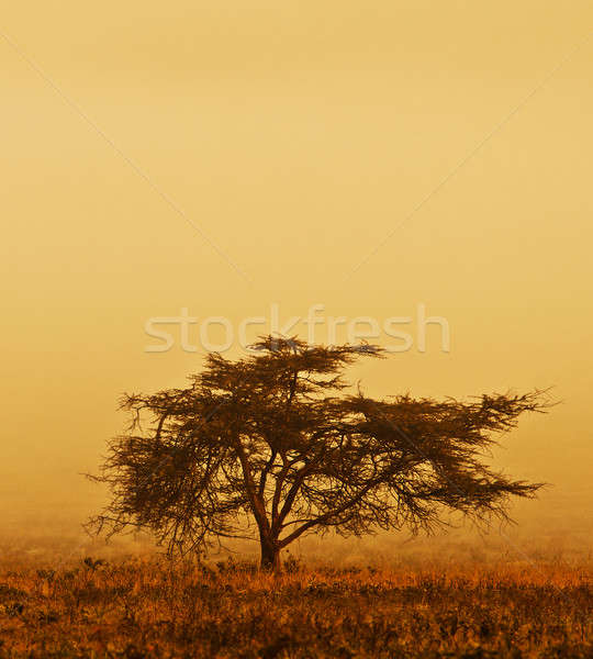 Samotny drzewo mgły charakter Afryki Zdjęcia stock © Anna_Om