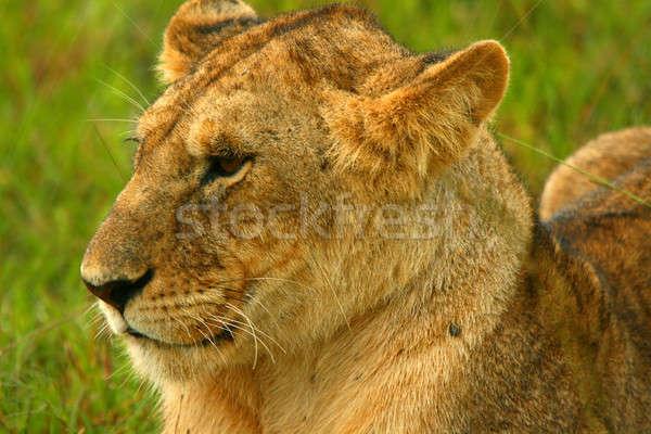 Eső vadon Afrika Kenya tavasz macska Stock fotó © Anna_Om