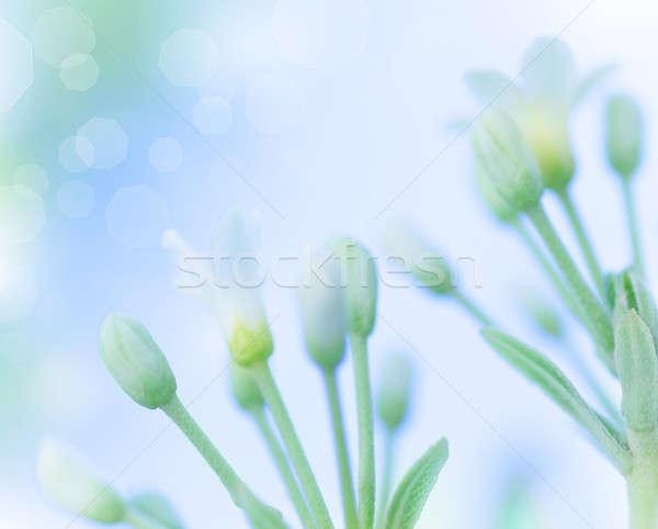 Nazik bahar çiçekleri güzel beyaz mavi bulanıklık Stok fotoğraf © Anna_Om