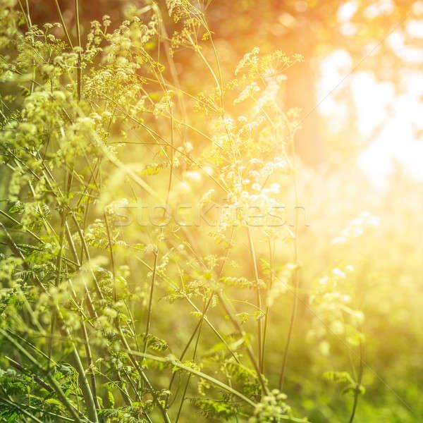 夢のような 森林 フィールド 抽象的な ストックフォト © Anna_Om