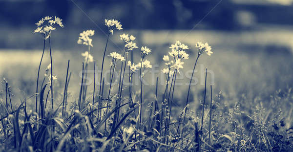 Beautiful gentle wildflowers Stock photo © Anna_Om