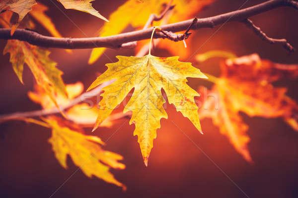 Dry autumn leaves Stock photo © Anna_Om