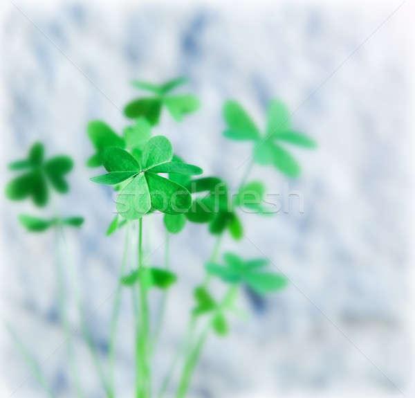 Fresh clover Stock photo © Anna_Om