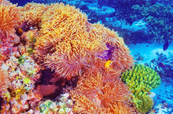 Сток-фото: клоуна · рыбы · коралловые · саду · плаванию · красивой