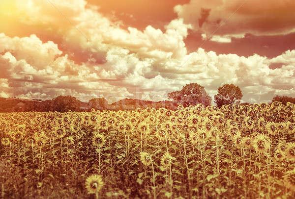 美しい ひまわり フィールド グランジ スタイル 写真 ストックフォト © Anna_Om