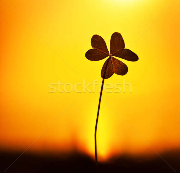Clover at sunset Stock photo © Anna_Om
