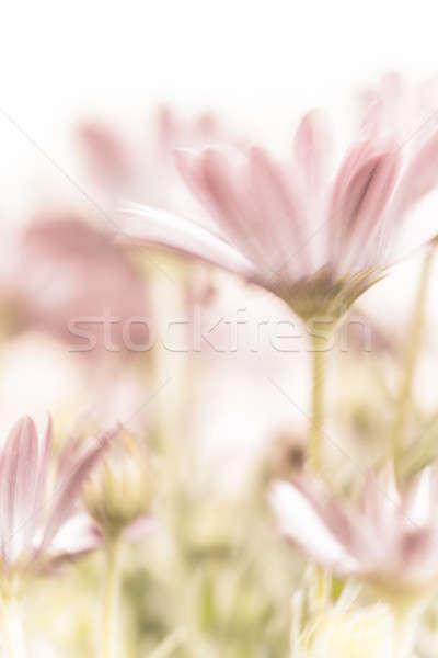 Güzel pembe papatya çiçekler alanları nazik Stok fotoğraf © Anna_Om