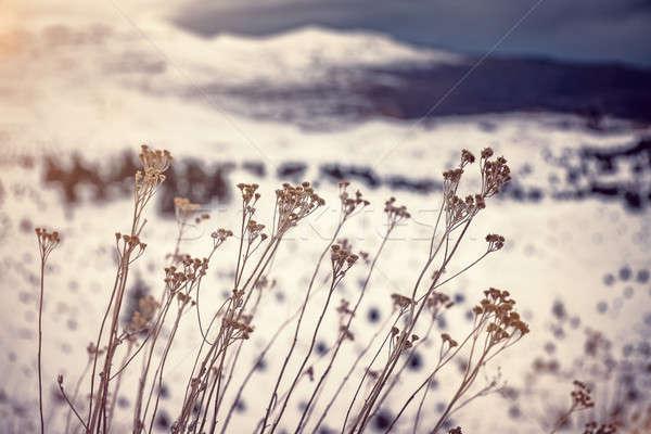 Kuru kır çiçekleri kış dağlar doğa ayrıntılar Stok fotoğraf © Anna_Om