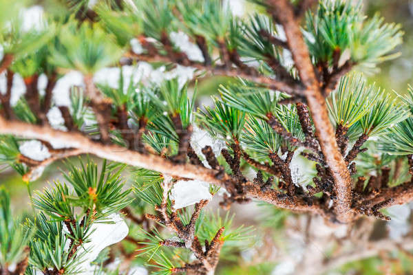 Sedir ağaç güzel taze yeşil iğneler Stok fotoğraf © Anna_Om