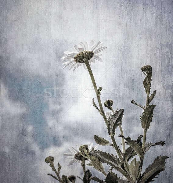 Grunge fotó százszorszép virágok felhős égbolt Stock fotó © Anna_Om