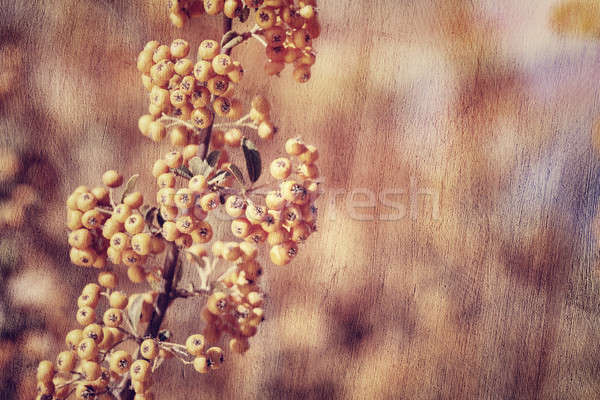 Rowanberry background Stock photo © Anna_Om