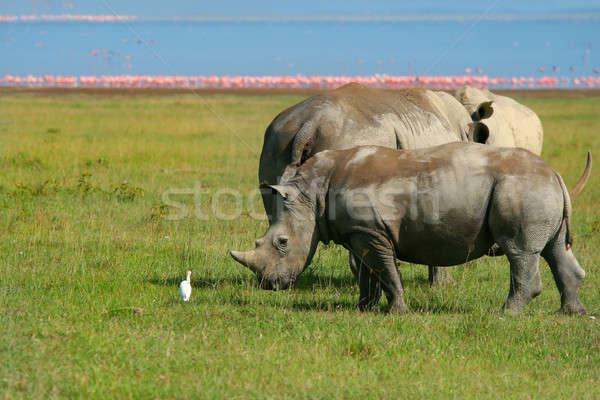 Stock photo: Rhinoceros in the wild