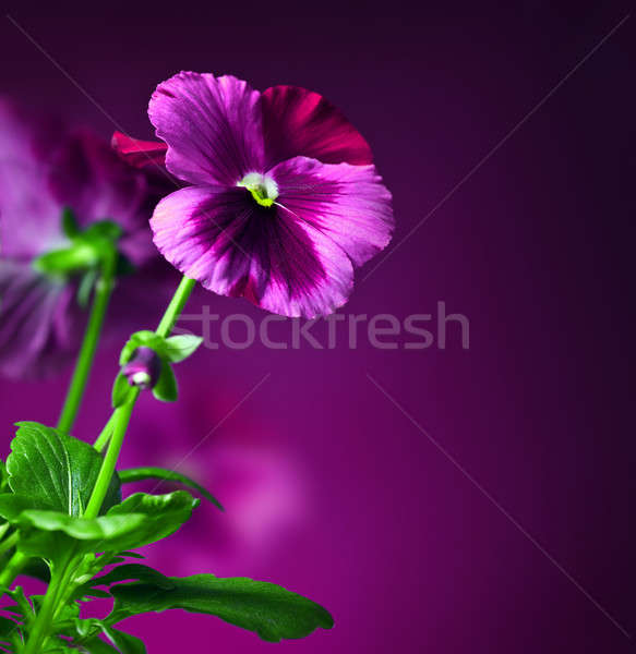 Pansy flowers border Stock photo © Anna_Om