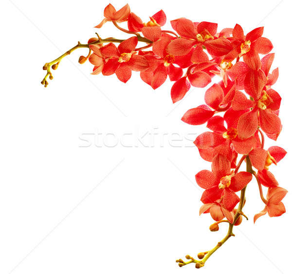 Red orchid border Stock photo © Anna_Om