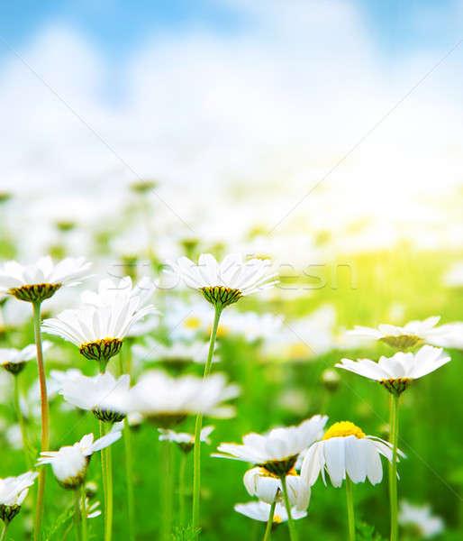 Frühling Bereich Gänseblümchen Wiese weiß frischen Stock foto © Anna_Om