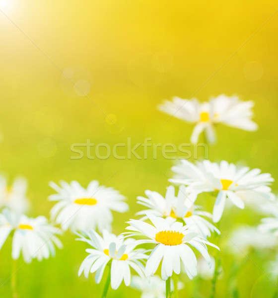 Stock fotó: Százszorszépek · virágok · mező · közelkép · napos · idő · kamilla