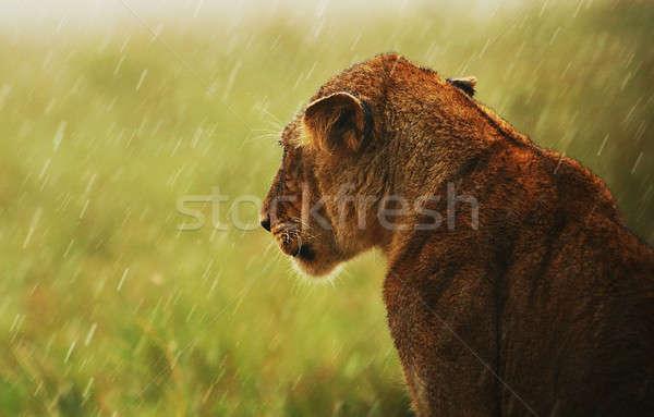 Regen wild mooie zoogdier dier Stockfoto © Anna_Om