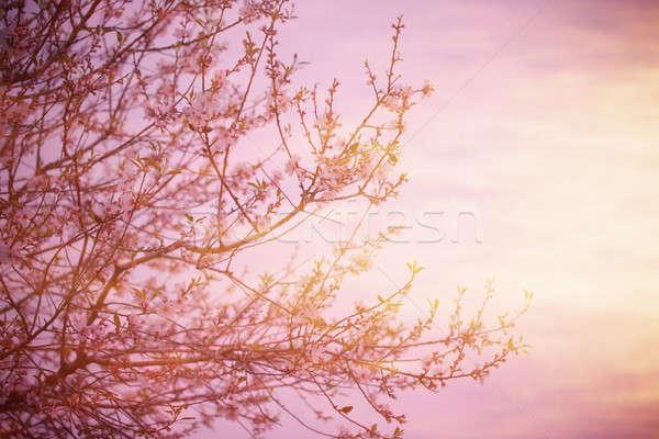 árvore pôr do sol quadro flor de cereja rosa Foto stock © Anna_Om