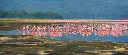 Stock photo: flocks of flamingo