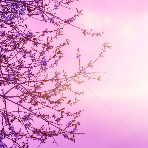 Cherry blooming over sunset Stock photo © Anna_Om
