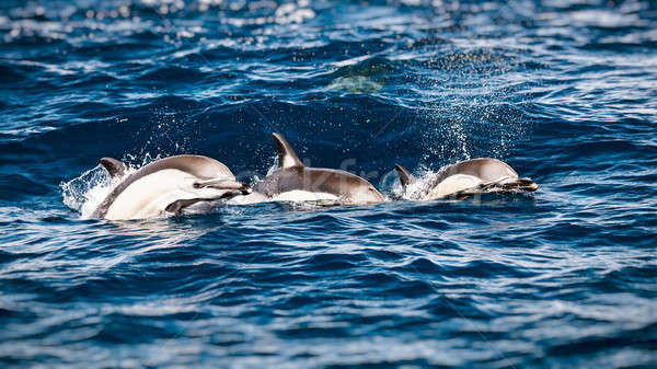 Three beautiful dolphins Stock photo © Anna_Om
