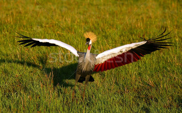 Black Crowned Crane Stock photo © Anna_Om