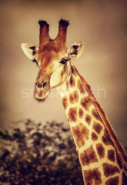 Sauvage afrique du sud girafe portrait cute Photo stock © Anna_Om