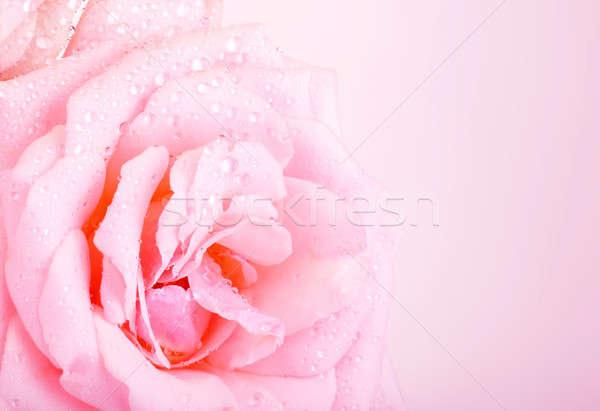 ストックフォト: ピンクのバラ · 写真 · 美しい · 抽象的な · フローラル · 国境
