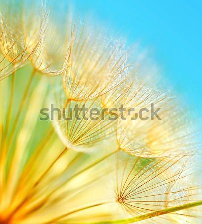 Abstrato dandelion flor extremo macio Foto stock © Anna_Om
