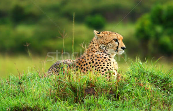 Wild african cheetah Stock photo © Anna_Om