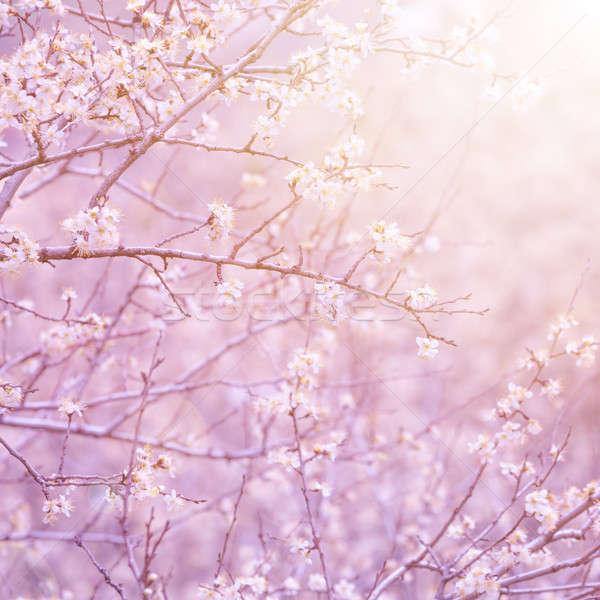 Virágzó gyümölcsfa gyengéd fehér virágok ág reggel Stock fotó © Anna_Om