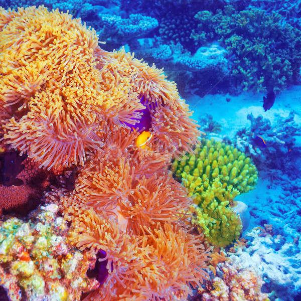 Bohóc hal korall kert úszik gyönyörű Stock fotó © Anna_Om