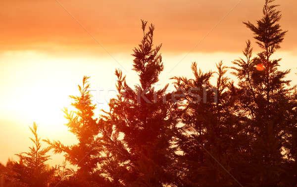 Foto stock: Belo · pôr · do · sol · paisagem · silhuetas · pinho · árvores