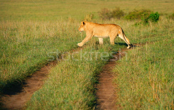 Wild african lion Stock photo © Anna_Om