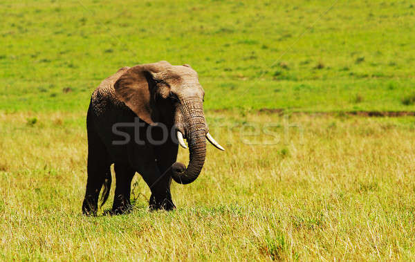 Big wild african elephant Stock photo © Anna_Om
