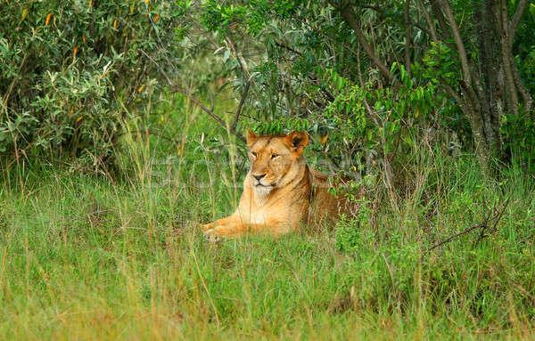 Wild african lioness Stock photo © Anna_Om