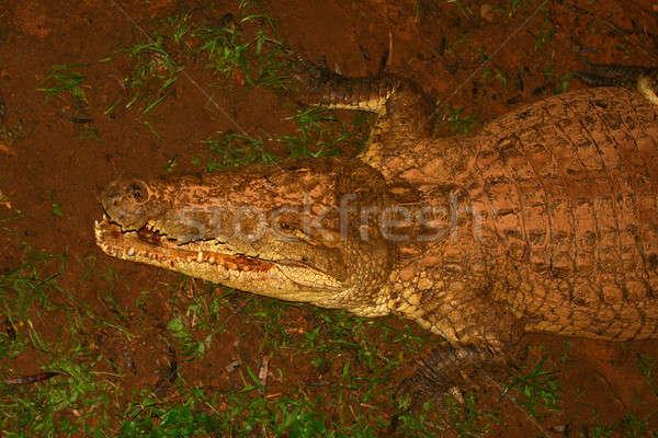 Krokodyla Afryki Kenia wiosną jesienią zęby Zdjęcia stock © Anna_Om