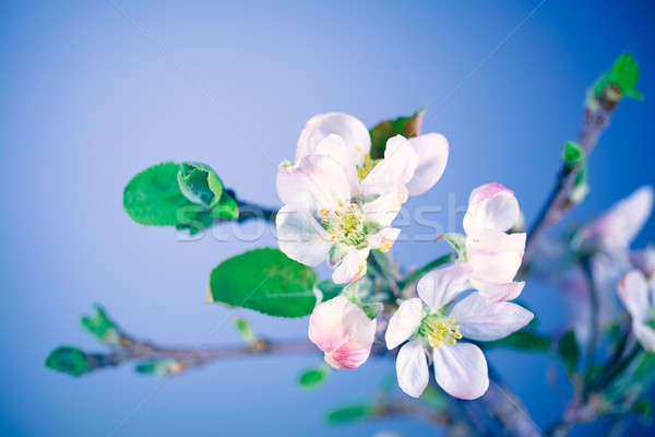 Blooming of apple tree Stock photo © Anna_Om