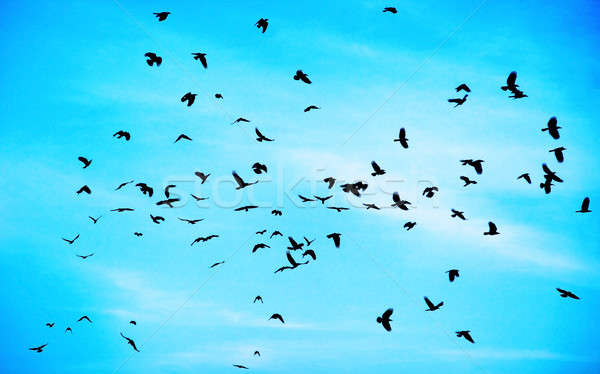 Flock of crows Stock photo © Anna_Om