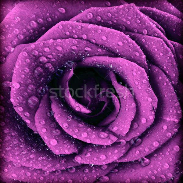 Purple dark rose background Stock photo © Anna_Om