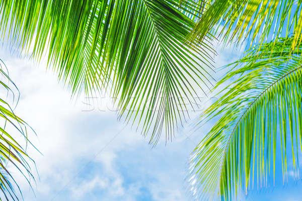 Fresh green palm tree foliage Stock photo © Anna_Om