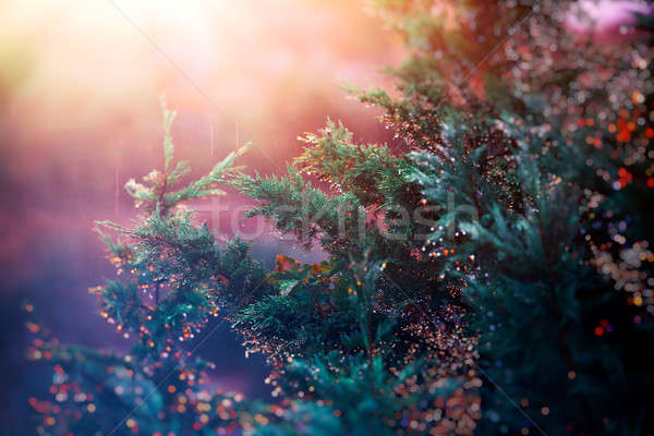 сосна закат свет красочный дождь капли Сток-фото © Anna_Om